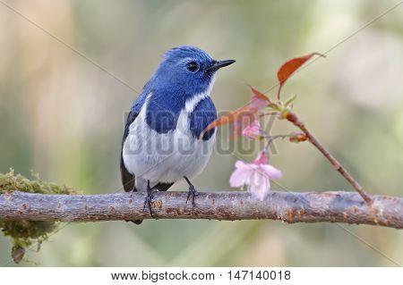 Ultramarine Flycatcher Ficedula superciliaris Male Bird and Flower