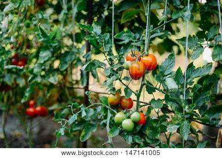 Vegetable Garden With Plants Of Red Tomatoes. Ripe Tomatoes On A