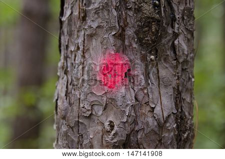 Coniferous tree marked for clearing. Deforestation campaign