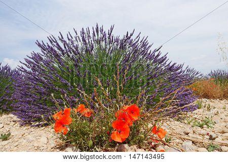 in june purple blooming lavendula fields, located in valensole