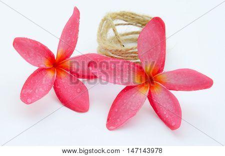 Pink plumeria flower isolated. Plumeria flower isolated on white