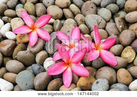 Pink plumeria flower on rocks textures. Plumeria flower on rock background.