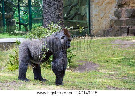 Black and big gorilla walking in zoo