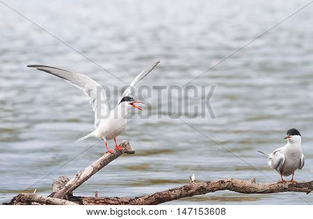 funny two terns sitting on a branch over the sea and waving wings