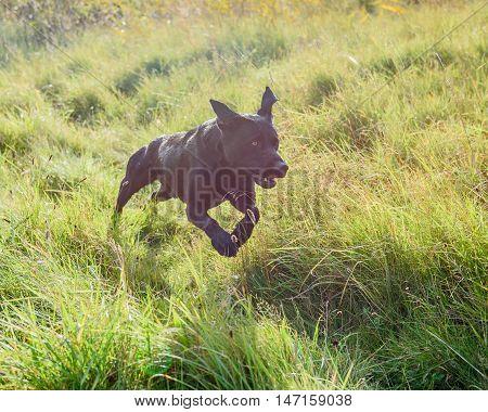 Black Labrador Retriever running in long grass.