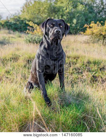 Black Labrador Retriever sat in long grass.