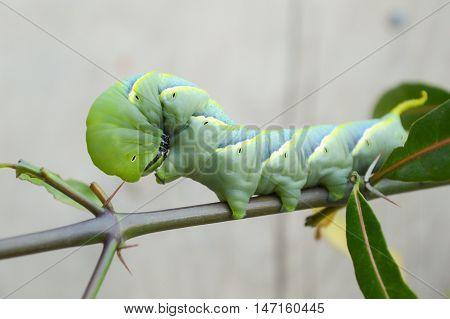 close up green caterpillar on limb , Pergesa acteus