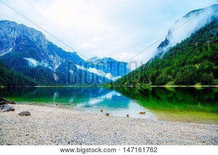 Wild duck is swimming in mountain lake