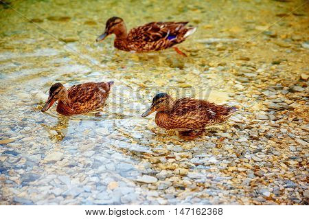 Wild duck is swimming in autumnal lake
