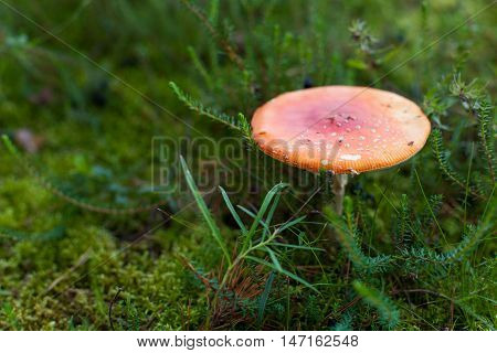 Isolated poisonous toadstool, fly agaric (Amanita muscaria) mushroom growing in green moss