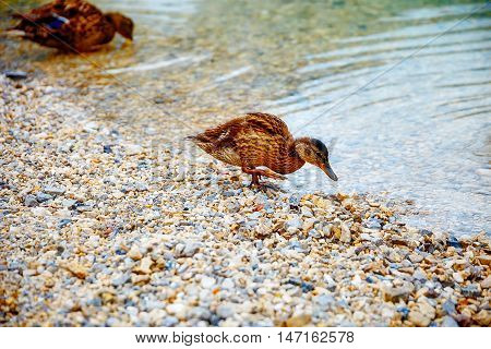 Wild duck on rocky beach in the morning