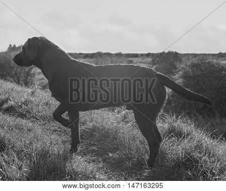 Black Labrador Retriever in grass,black and white.
