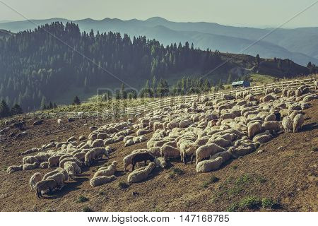 Flock Of Sheep In Sheep Pen