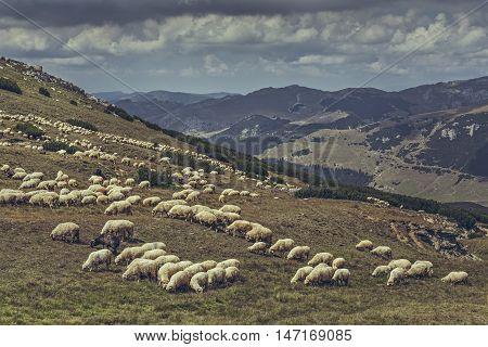 Flock of sheep grazing on a alpine pasture in Bucegi Mountains Romania.