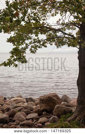 autumn landscape sea shore. oak tree on sea shore