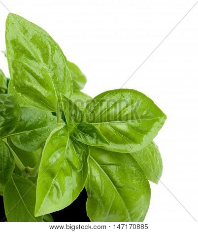 Leafs of Fresh Green Lush Foliage Basil with Water Drops Cross Section on White background