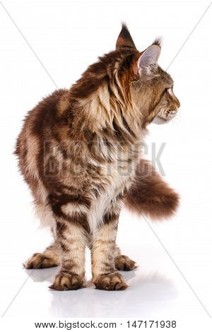 brown Maine Coon standing and looks toward on a white background