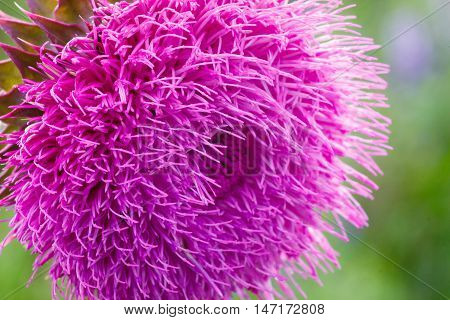 Close-up Of A Thistle Flower In Bloom In The Field. Backlight. Shallow Depth Of Field. Milk Thistle