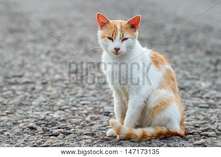Portrait Of A Stray Cat. White And Red Cat Sitting Alone On The Road Looking At The Camera, A Lot Of