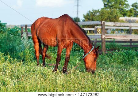 Brown Horse Grazes On A Leash Near The Stables