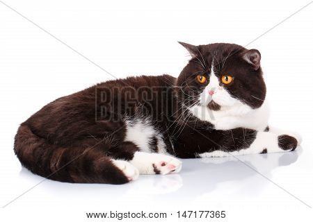 Portrait of a cute lying black and white cat Scottish Straight with big yellow eyes isolated on white background