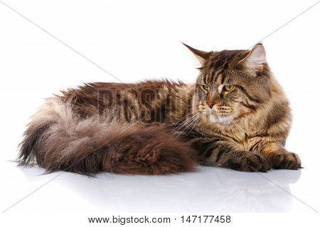 Maine Coon cat With long brown wavy hair, lying in front of white background