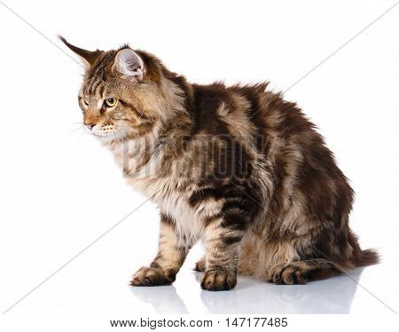 Maine Coon, 7 months old, sitting and looks toward in front of white background, studio shot