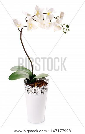 white flower orchid in a flowerpot isolated on white