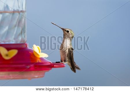 A female Anna's hummingbird drinks from a feeder on a hot summers day at Keller Peak in California, USA