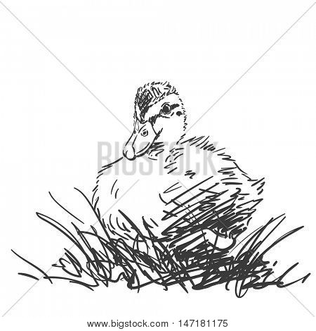 Duckling in grass isolated Vector sketch Hand drawn illustration black on white background