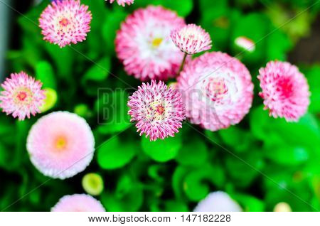 Pink daisy flowers bloom beautifully in the garden. Spring flowers