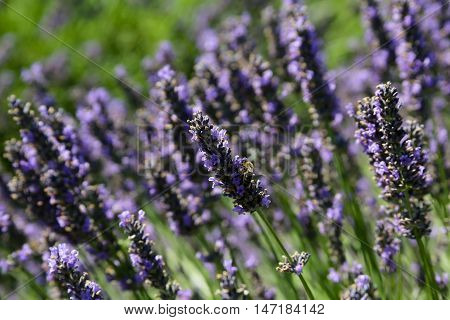 Honey bee on bloom of lavender in a row of blooms