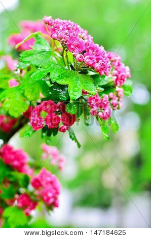 Tree pink hawthorn. A branch of hawthorn. The flowers of hawthorn. Nature after rain