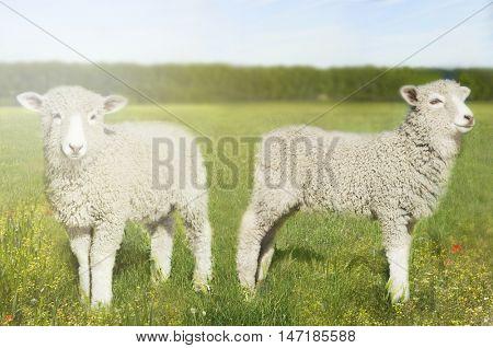 Sheep in field,