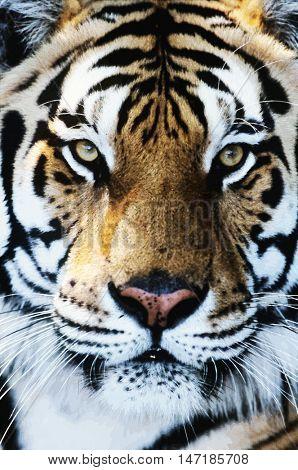 Tiger close-up of face