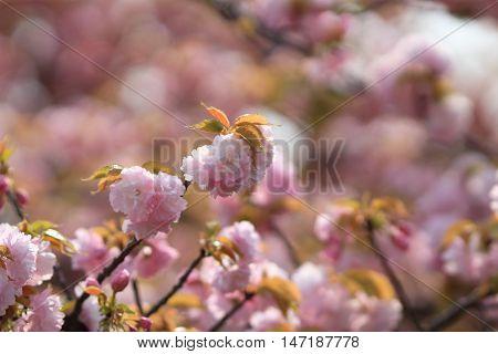 Weeping Cherry At Osaka
