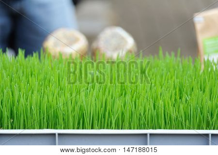 Young Seedlings Of Green Wheat Sprouts Close Up.