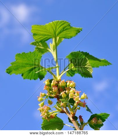 Black Currant On A Branch Close-up Over Blue Background