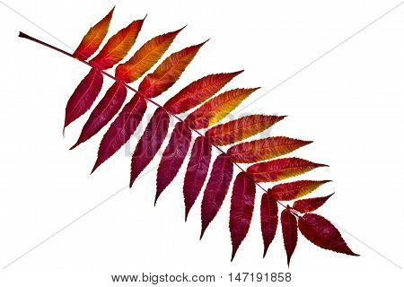 Autumn Red Leaf On White Background. With Clipping Path.