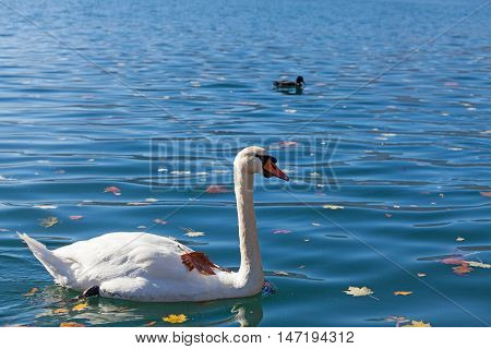 white swan on the lake Bled in Slovenia