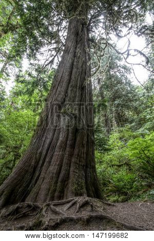 An old growth Western Red Cedar in Olympic National Park