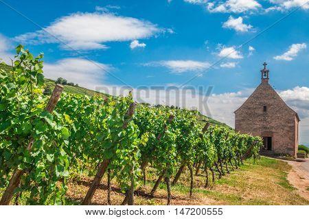 Vineyard in Riquewihr village in Alsace France