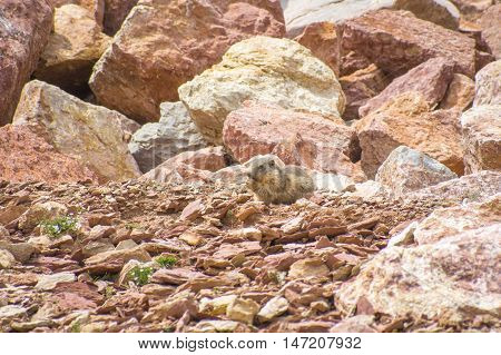 Marmot living in the rocks in the mountains, Pyrenees, Girona, Alp, Catalonia, Spain