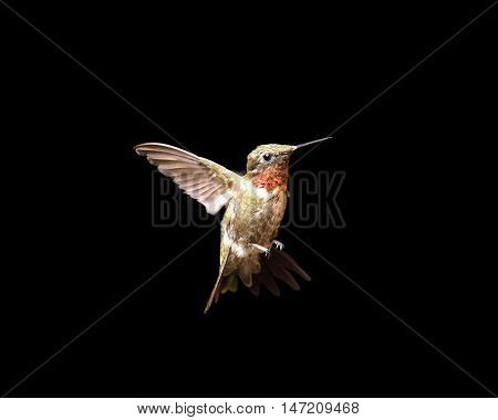 Male ruby-throated hummingbird in flight and isolated on a black background. Close up image with vivid colors and significant detail.