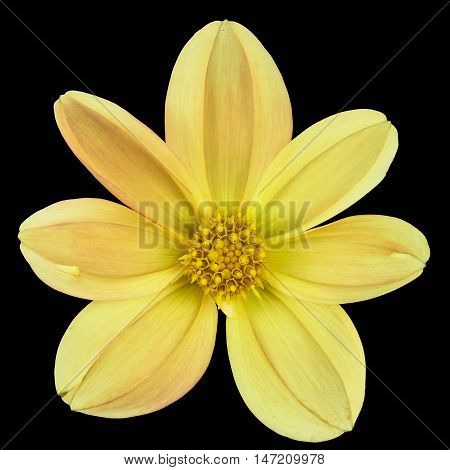 yellow flower Dalia georginia (Dahlia Cav.) in black background