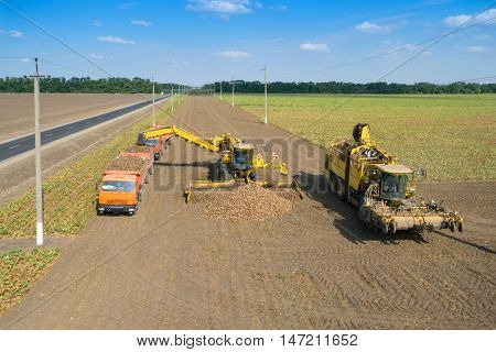 KRASNODAR REGION, RUSSIA - AUG 19, 2015: Machine loads of sugar beet into truck after hasvest, In 2015 in Krasnodar region yields reached record level - 58.4 centners per hectare