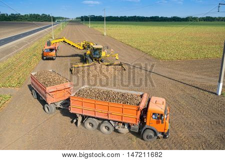 KRASNODAR REGION, RUSSIA - AUG 19, 2015: Machine loads of sugar beet into truck after hasvest at sunny day, In 2015 in Krasnodar region yields reached record level - 58.4 centners per hectare