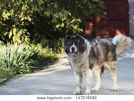 Adult Caucasian Shepherd dog. Fluffy Caucasian shepherd dog in the yard