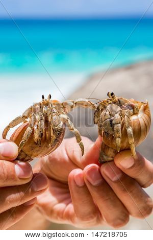 Two beautiful tropical large hermit crab in hand on background of turquoise, blue sea in the Seychelles