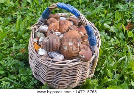 Full basket of mushrooms. The result of the successful collection of edible mushrooms in autumn forest.